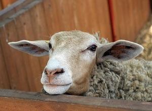 isolation-laines-animales